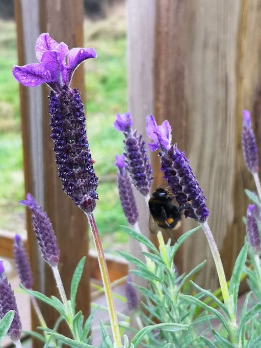 flowering lavender in yard 1