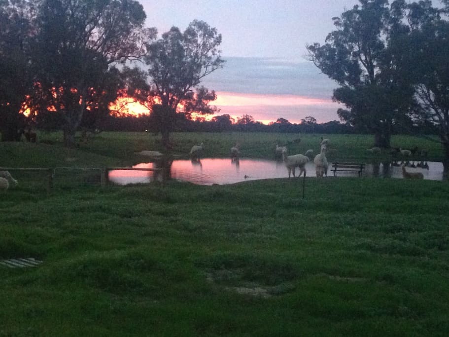 View from back of the house at sunset. Some of the alpacas at the dam.