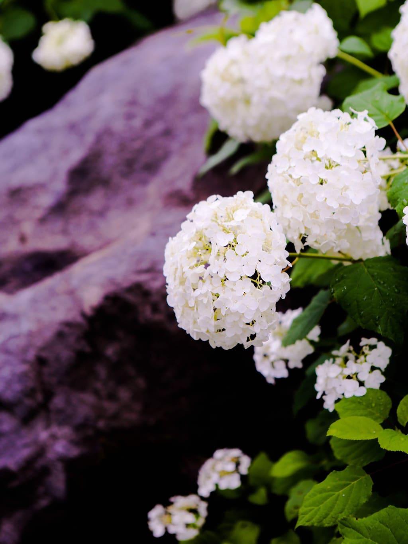 熊本 紫陽花 2020
