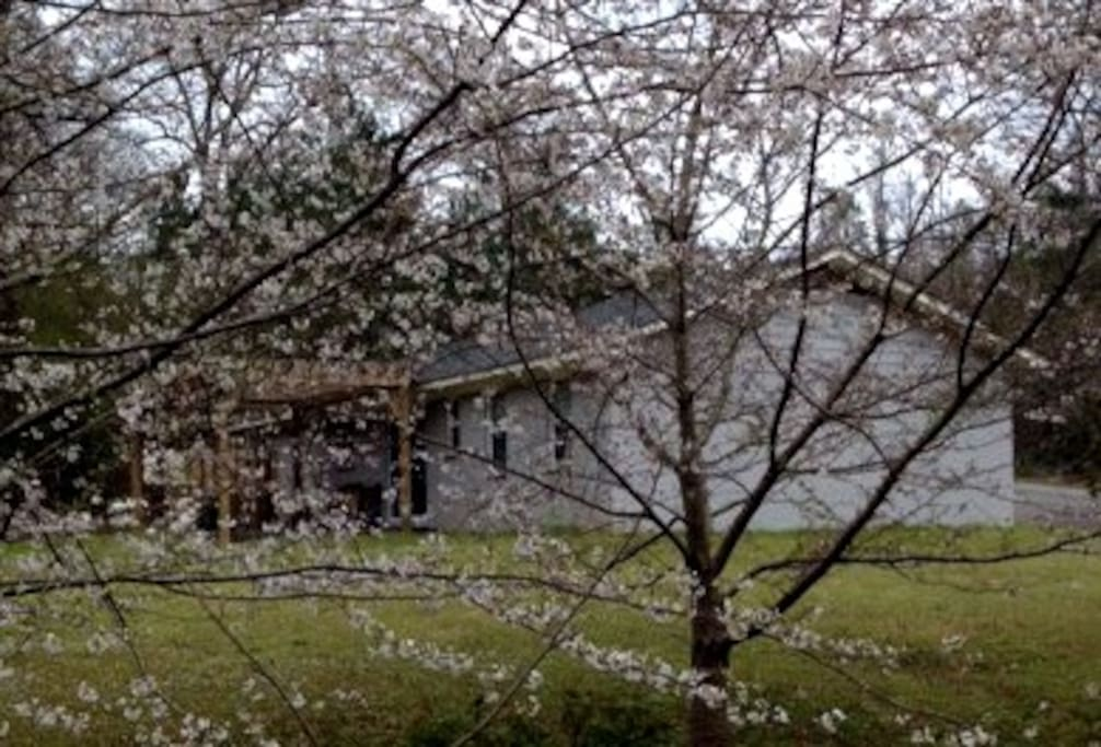 Cherry blossoms and other flowering plants