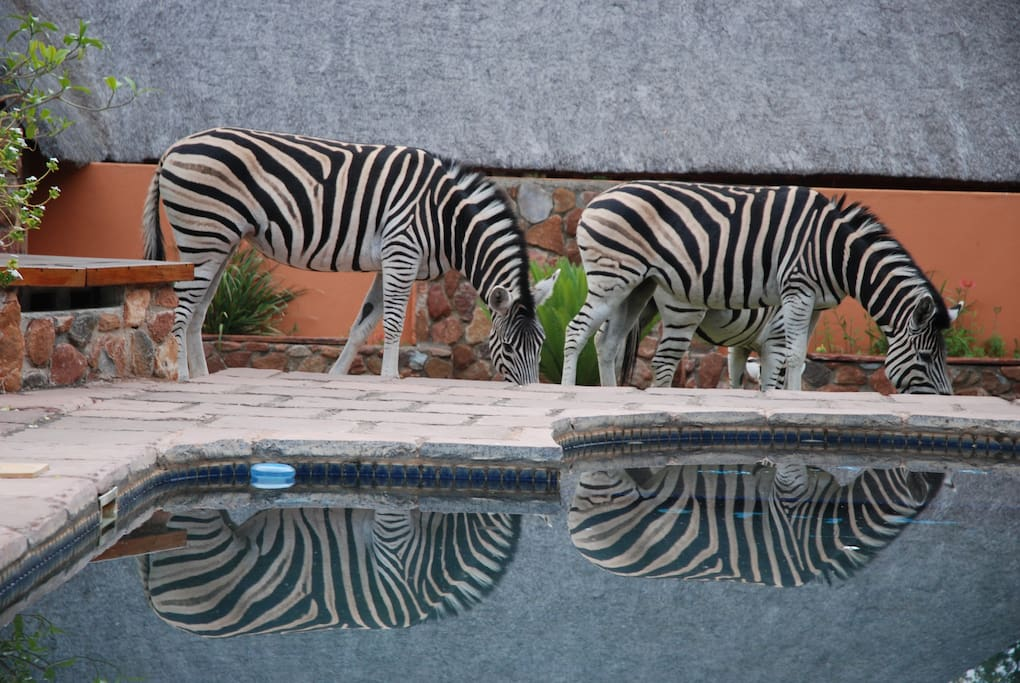 Zebras wander by the pool