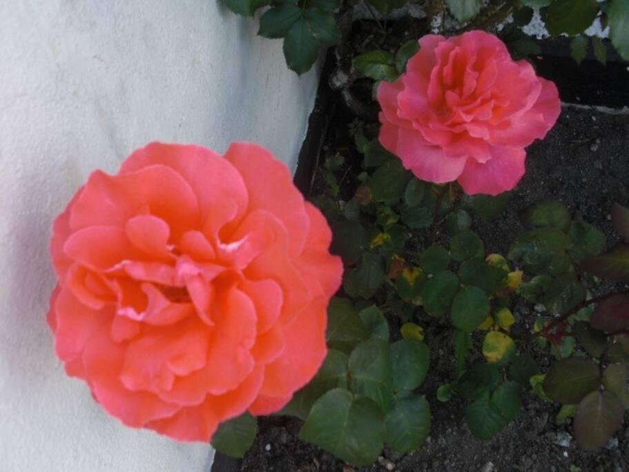 Old Cashel Roses in Garden