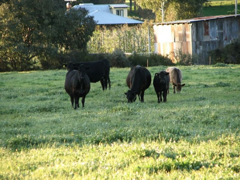 Part of our organic beef herd peacefully grazing.