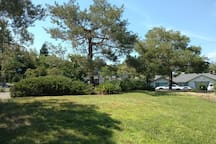 Three pines in the front yard.