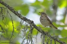 """L'activité découverte nature """"Les oiseaux invisibles de la forêt boréale"""" est disponible en mai et en août afin de respecter le cycle de reproduction des oiseaux. (Grive solitaire)"""