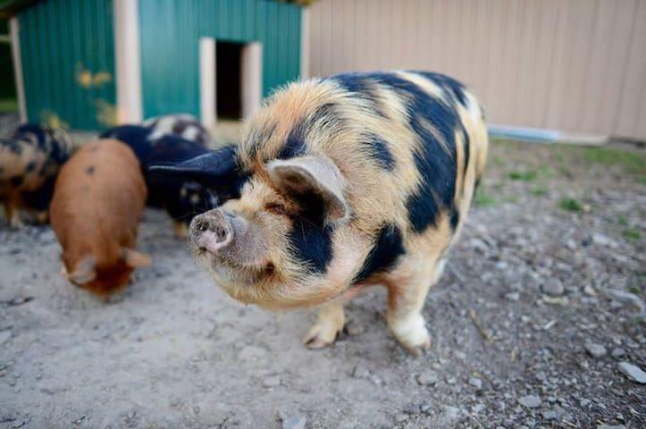 Kune Kune heritage breed pigs