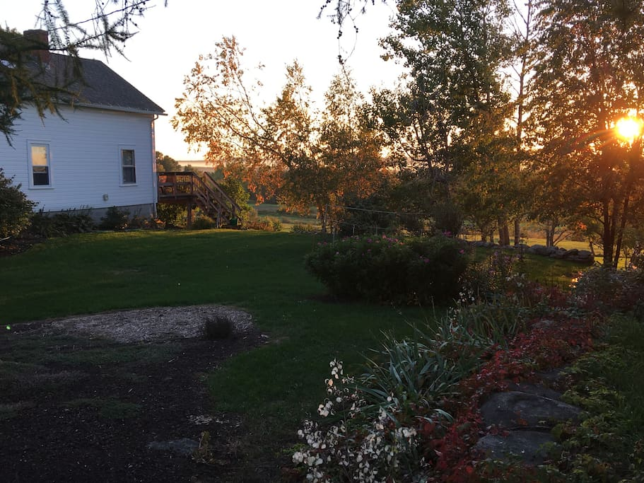 side yard birches aglow with the late afternoon sun