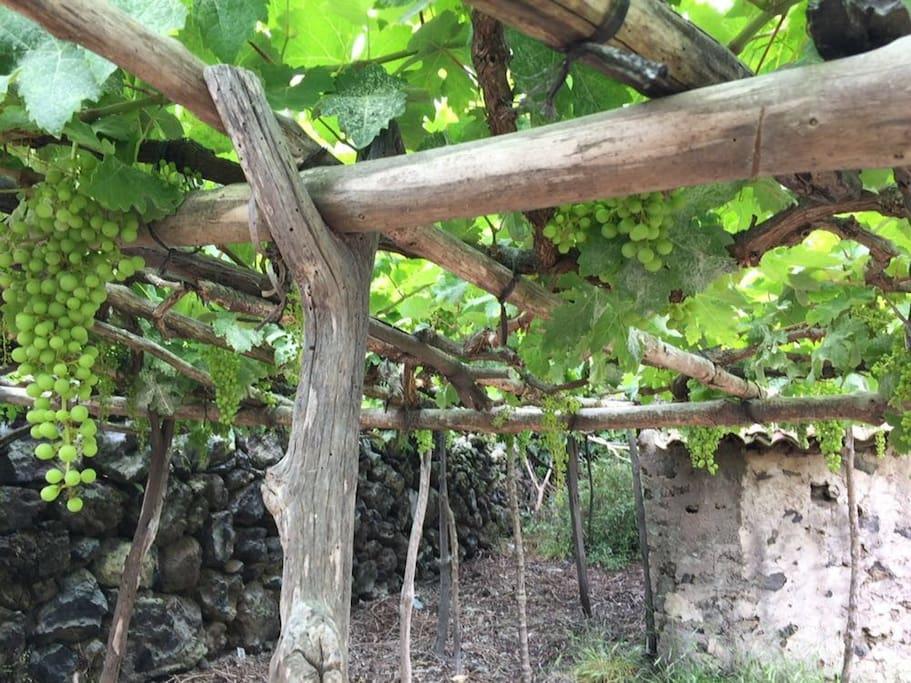 Private vineyard in the garden