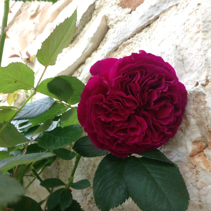 Falstaff Rose