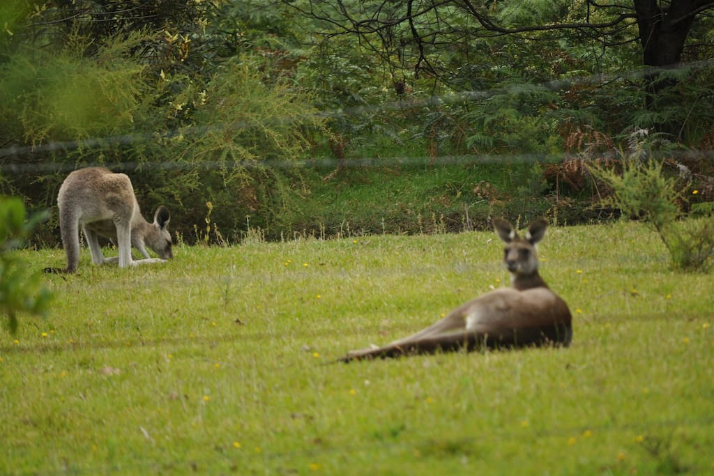 Kangaroos lazying in the paddocks