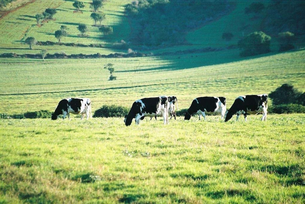 Working Dairy Farm
