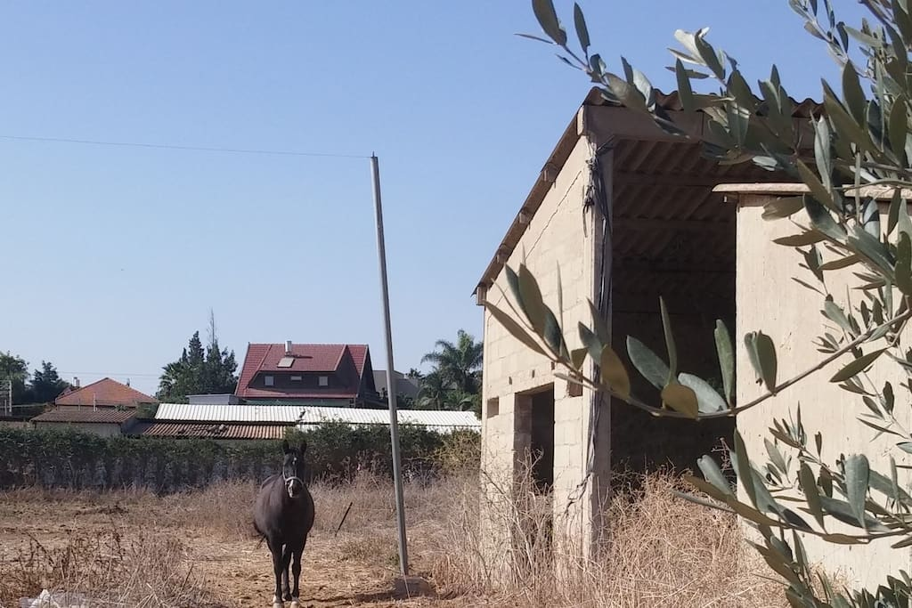 Dany's horse  Gedalia