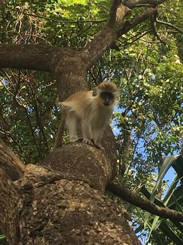 Local Barbados green monkeys live in our neighborhood and come visit our gardens daily.