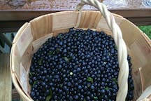 """Finnish forest """"blue gold"""" - blueberries in the summertime!"""