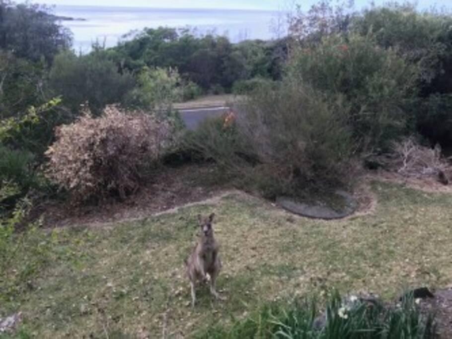 Kangaroos in front yard eating bread