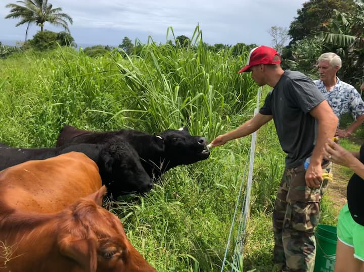 All our cattle like banana treats!