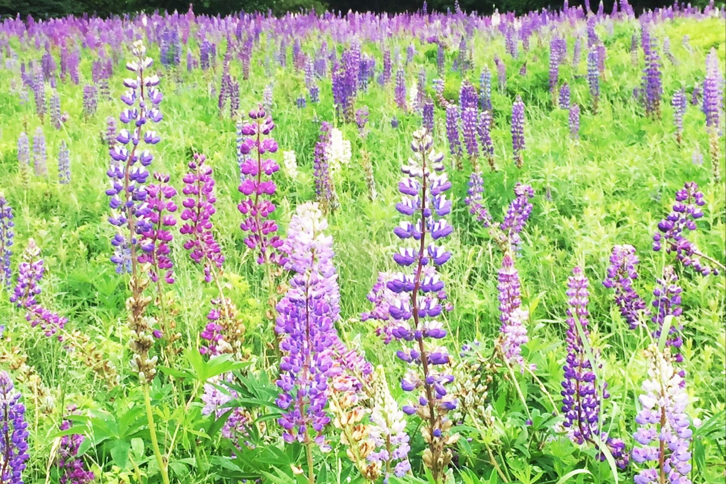 There is wild lupine on property