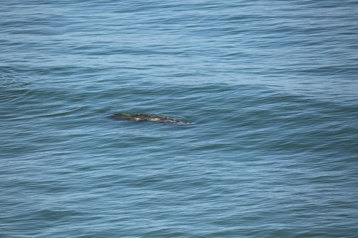 Whales come in very close to the beach. This is in the surf just below our decks
