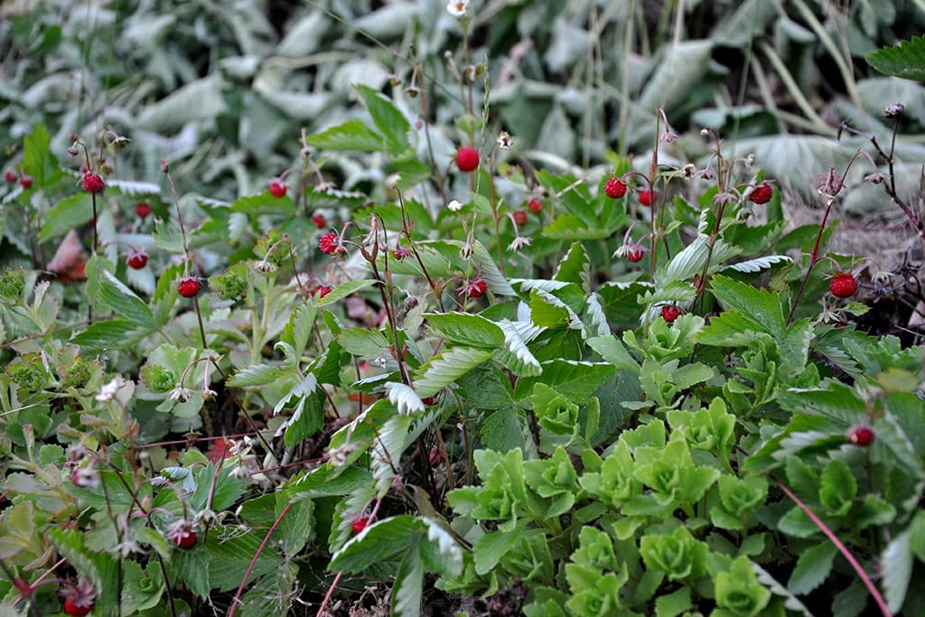 There is plenty of strawberries and blueberries in the garden