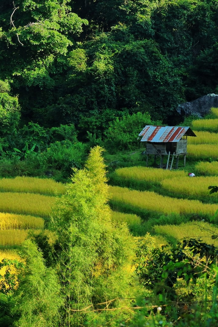 Golden paddy field in end of Oct