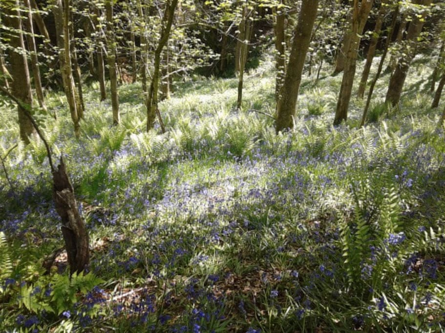Bluebells in the wood in Bircher common