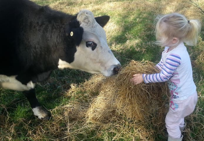 Grandchild feeding one of our quiet cows