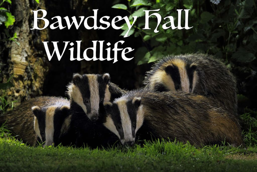 Badger Watching and Photography opportunities