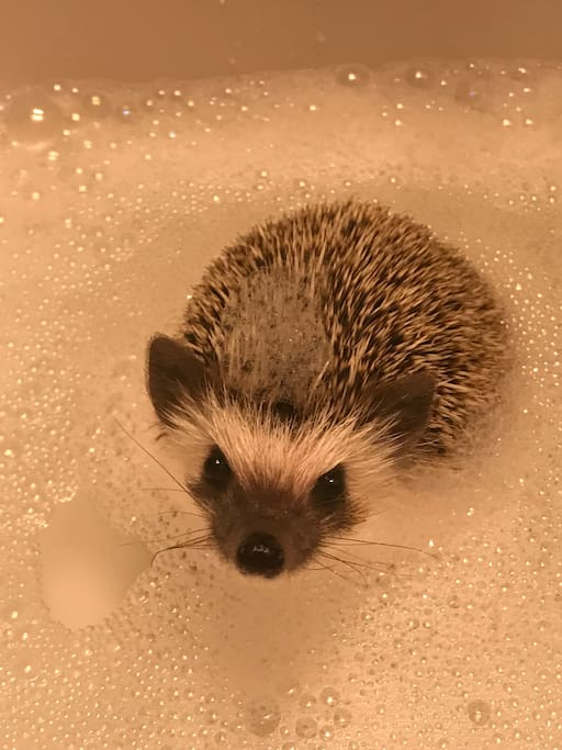 This is Gunther our pet Hedgehog if you want to meet him let us know!