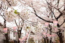 Japanese people love cherry blossoms not only because they are beautiful but also because they only bloom for a very short period.