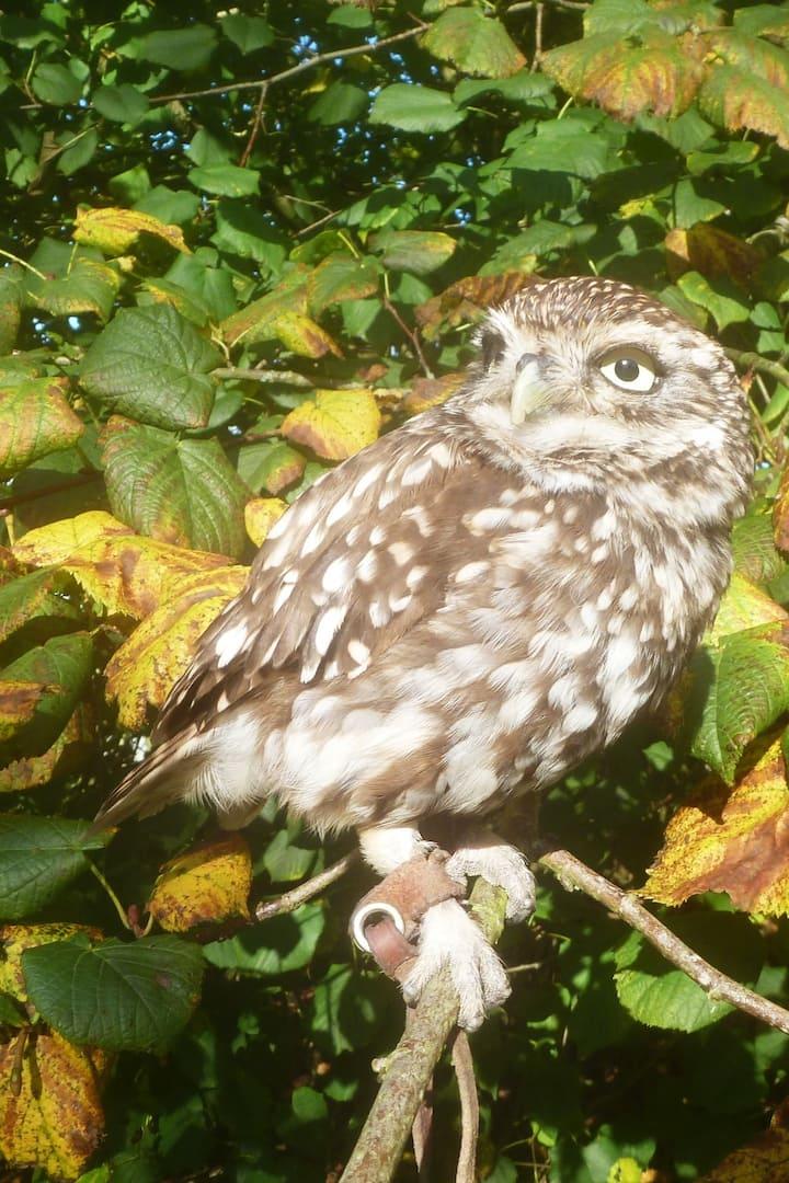 Meet Itch the Little owl