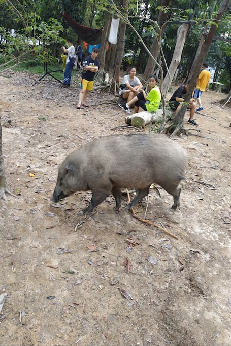 Strong muscle wild boar spotted at hill peak