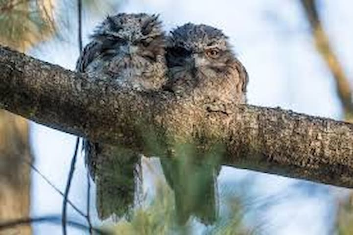 Tawny frogmouths near the Sugar Mill