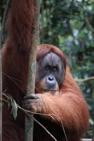 Wild Orangutan Preserve Clean, WIfi - Stabat