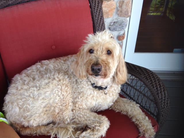 Abbey, our Goldendoodle!