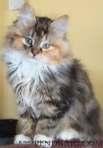 Lola, a Siberian Forest Cat, hypoallergenic