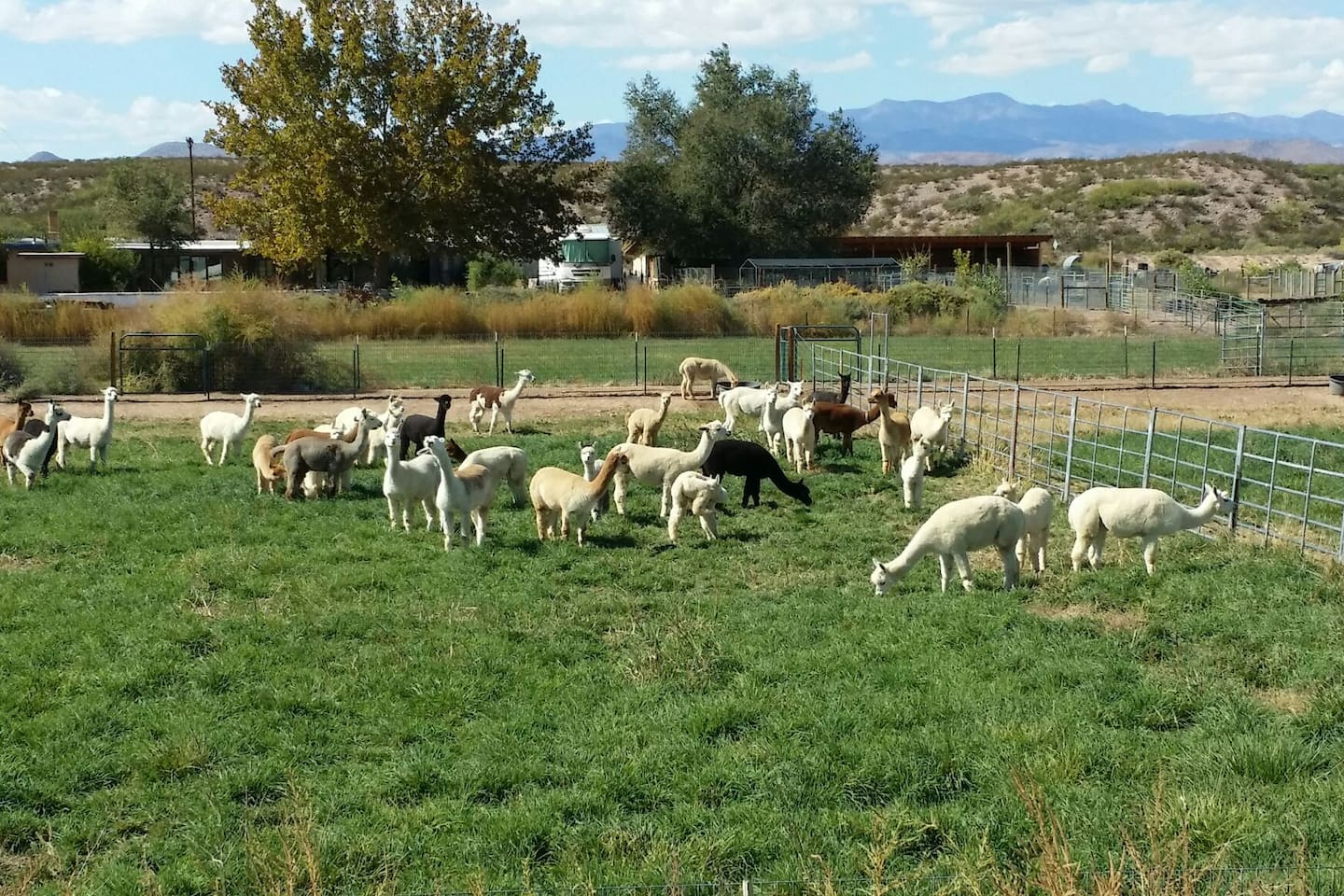 Our alpacas grazing in the pasture.