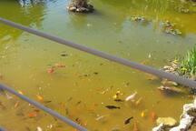 cafe manzaña con bonito lago con peces japoneses