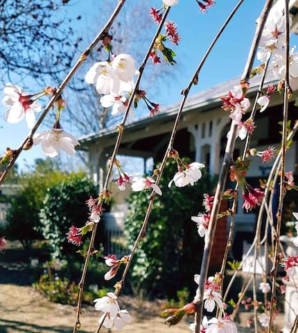 Weeping cherry in springtime.