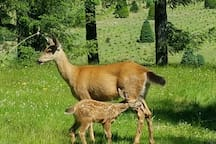 Our resident mama deer with new born fawn in back yard.