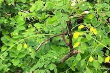 our local super food, moringa / kelor, full of minerals, vitamins and enzyme and fresh, not dry powder like at your local shop :-)