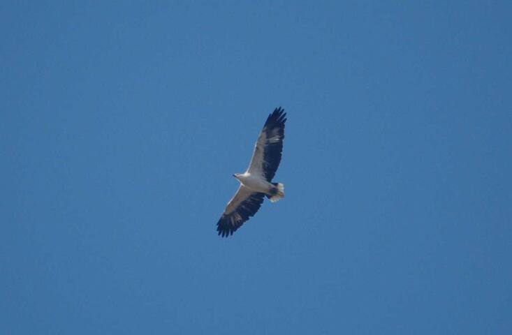 White-bellied Sea Eagle hunting down along the beachfront