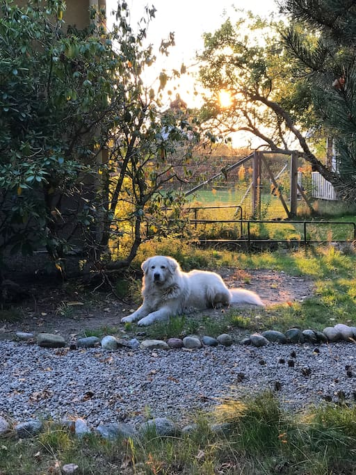 Leo the Maremma in his part of the garden.