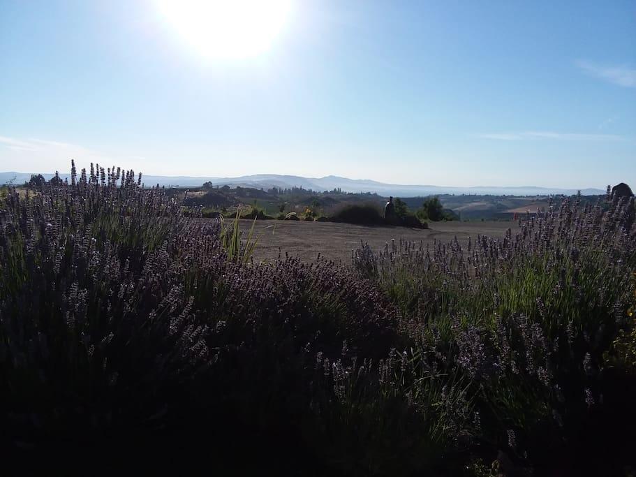 Panoramic Stunning Views- Lavender in Bloom