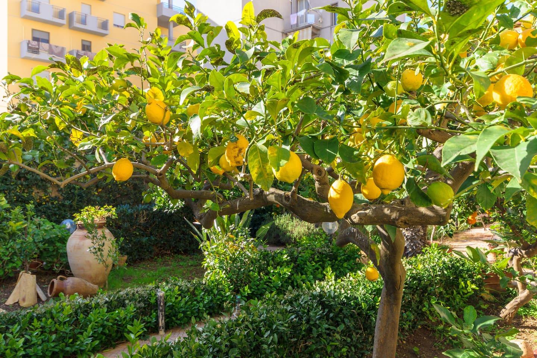 Una parte del giardino, con albero di limone.