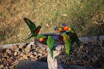 Lorikeets at the birdbath