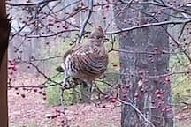 Partridge in our Cherry tree