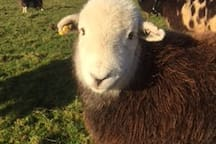 We keep rare breed sheep here at GGC and this is my girl - Herdy.