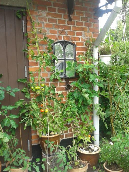 Tomater på terrassen.