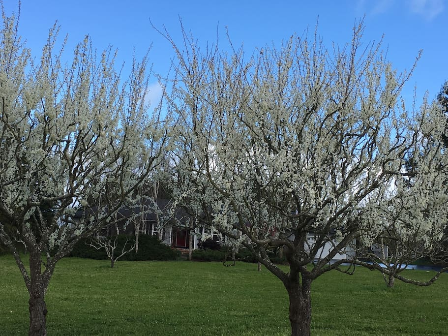 Front yard with blooming plum trees..Yummo!