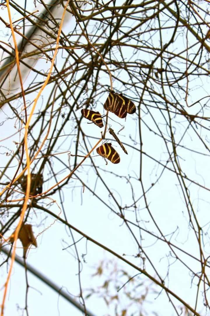 Mariposa Cebrita